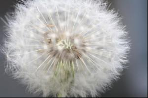 Where dandelions used to grow. by Nancy Larsen